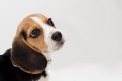 Beagle. Photo of a beagle puppy taken in a studio Stock Photos