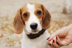 Beagle pies Zdjęcia Royalty Free