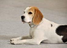 Beagle pies Fotografia Royalty Free