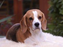 Beagle pies kłaść w dół fotografia stock