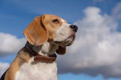 Beagle pies na tle białe chmury zdjęcia royalty free