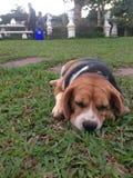 Beagle pies na zielonej trawie Obrazy Royalty Free