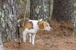 Beagle pies peeing Fotografia Royalty Free