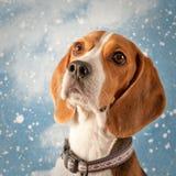 Beagle pies przed Wakacyjnym opadu śniegu tłem Obraz Stock
