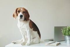 Beagle pies przy biuro stołem z laptopem obrazy royalty free