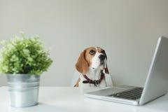 Beagle pies przy biuro stołem z laptopem zdjęcia royalty free