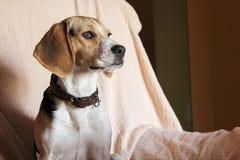 beagle pies siedzi w kanapie Zdjęcia Royalty Free