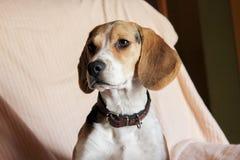 beagle pies siedzi w kanapie Fotografia Stock