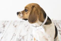 Beagle pies w łęku krawata głowy czerepie z ukosa Zdjęcia Stock