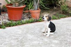 Beagle pies w ogródzie Zdjęcie Stock