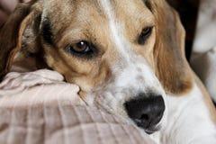 beagle pies zanudzający lying on the beach w kanapie z bliska Zdjęcia Stock
