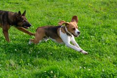 beagle plażowy Oregon zdjęcie stock