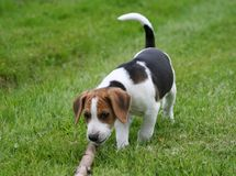 Beagle at play. Beagle puppy who has found a twig Stock Images