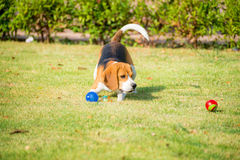 Beagle play ball Stock Photo