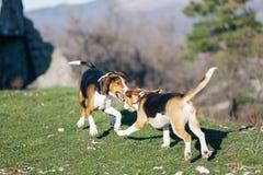 Beagle playing Stock Image