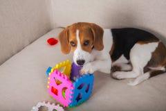 Beagle playing on sofa Royalty Free Stock Image