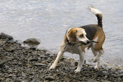 Beagle playing in the water. This is a beagle playing in the water Stock Image