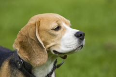 Beagle Portrait Royalty Free Stock Photography