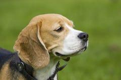 Beagle Portrait royalty free stock photography