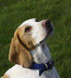 Beagle portrait Royalty Free Stock Image