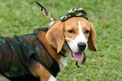 Beagle portrait. Dressed up beagle looking at camera Stock Images