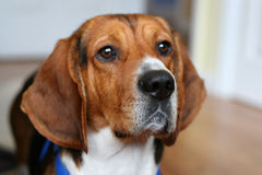 Beagle portrait royalty free stock photo