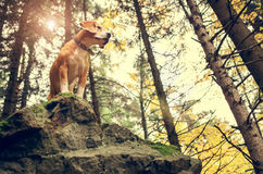 Beagle portrait in autumn forest Royalty Free Stock Images