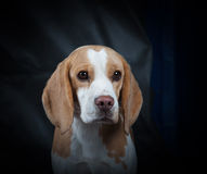 Beagle portrait Stock Photography
