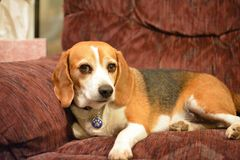 Beagle Portrait. A beagle posing on the couch Stock Photo