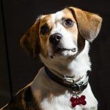 Beagle portret na czarnych tło Fotografia Royalty Free