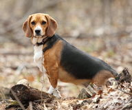 A Beagle Posing in the Woods Stock Photos