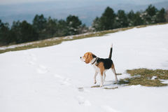 Beagle poza Obrazy Royalty Free
