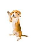 Beagle pozycja na swój tylnych nogach zdjęcie stock