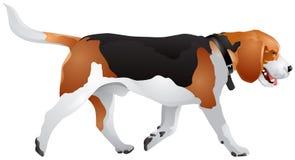 Beagle psa trakenu kolor Obrazy Stock