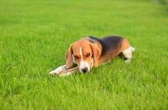 Beagle psi bawić się z kijem Fotografia Stock