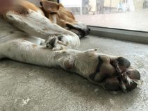 Beagle psi cieki Obraz Stock