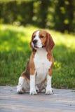 Beagle psi cutie Fotografia Royalty Free