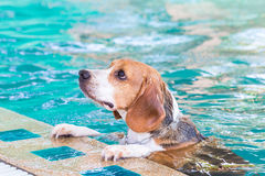 Beagle psi czekanie dla pływać w basenie Obrazy Royalty Free