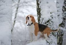 Beagle psi odprowadzenie w zima śnieżnym lesie Zdjęcie Stock