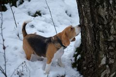 Beagle psi odprowadzenie w zima śnieżnym lesie Fotografia Stock