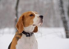 Beagle psi odprowadzenie w zima śnieżnym lesie Obraz Royalty Free