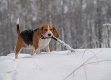 Beagle psi odprowadzenie w zima śnieżnym lesie Obrazy Royalty Free