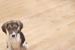 Beagle psi szczeniak Zdjęcia Stock