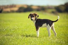 Beagle psi szczeniak Zdjęcia Royalty Free
