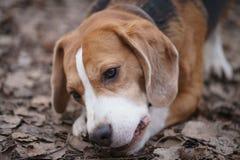 Beagle psi tricolor lying on the beach na ziemi i bawić się z coś Fotografia Stock