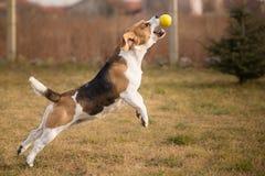 Beagle psia chwytająca piłka Zdjęcia Royalty Free