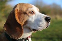 Beagle psia głowa zdjęcie royalty free