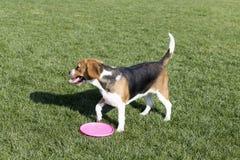 Beagle psy zdjęcie royalty free