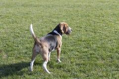 Beagle psy obrazy stock