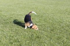 Beagle psy zdjęcia stock